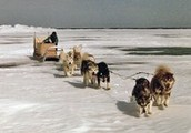 Resulting in a 483 mile dog sledding relay race from Nenana,AK to Nome,AK.
