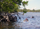 Snorkeling In the Mangrove