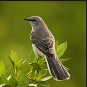 The State bird is the mocking bird.