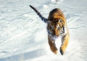 Siberian tigers are also in great danger!!!
