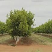 מטע עצי אגוזי מלך
