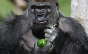 The Ape is a Herbivore