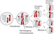 Meiosis what is it?