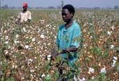 Men hand picking cotton