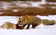 Red Fox Dragging A Deer