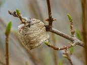 Caring for Praying Mantis Eggs
