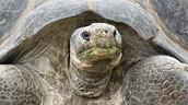 Galapagose turtle