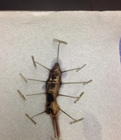 Earthworm (After Dissection)
