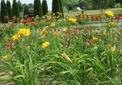 Over 100+ Varieties of Daylilies
