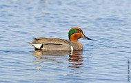 Male Green winged teal