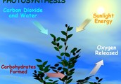 photosyntesis plant