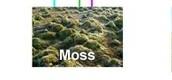 Artic Moss