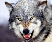 fane as a wolf