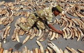 Poaching trade bust