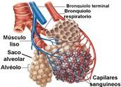 Los alveolos