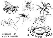 Arthropods (Arthropoda)