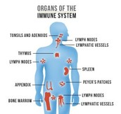 Main Organs of the Immune System
