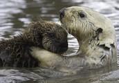 Adaptation belonging to Sea Otters