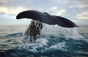 How big are whales?