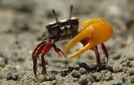 Fiddler Crab (Uca Pugnax/Minax)