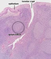 Tonsil Tissue