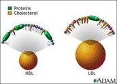 How do LDL and HDL differ structurally and functionally?
