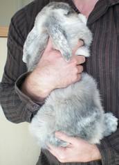 Rabbit Handling