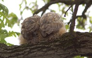 Owl Butts