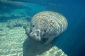 Aquatic: Manatee
