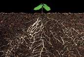 Roots get water and store food