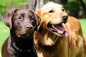 Labs and Golden Retrievers