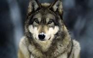 Grey Wolf in Yellowstone