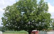 Pecan Tree