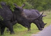 Cubans rhinos