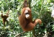 The Characteristics of the Sumatran Orangutan