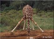 Giraffe with a 2 feet long neck