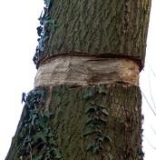 Voles girdle trees.
