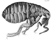 infected flea