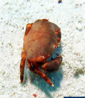 This is an Orange Coral Crab