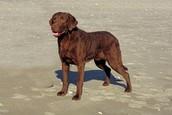 Marylands state dog