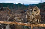 Owls are loosing their homes.
