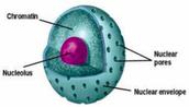 Organelle #1: Nucleus