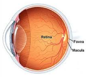 The Structure of an Eye (Back)