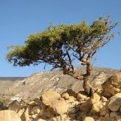 Myrrh tree growing in arid climate