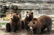 The Grizzly Bears