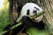 Giant panda eating bamboo, which is 99% of their diet.