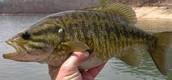 Small Mouth Bass-Micropterus dolomieu