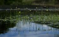 Eriocaulon (pipewort)
