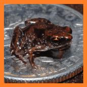 Самое маленькое земноводное в мире, это очень маленький вид лягушек Paedophryne amauensis из семейства микроквакши (Microhylidae) или узкороты. Средняя длина лягушки составляет всего 7,7 миллиметра. Обитает она только на Папуа — Новая Гвинея, слой опавшей листвы служит им убежищем.