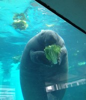Manatee Eating Lettuce